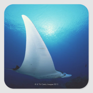 Underside of a manta ray square sticker