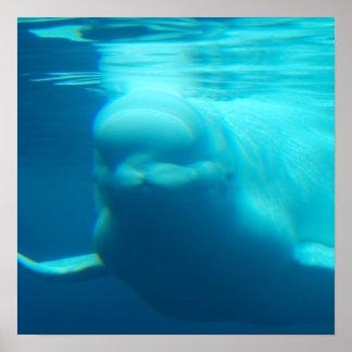 Underwater Beluga Whale Poster