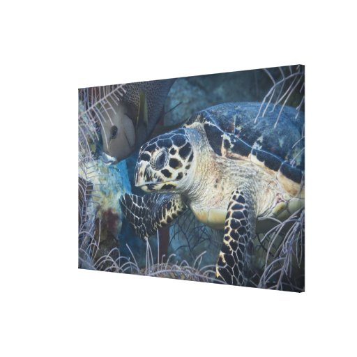 Underwater Life: A Hawksbill Sea Turtle 2 Stretched Canvas Print