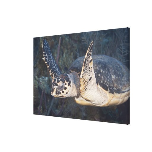 Underwater Life: A Hawksbill Sea Turtle Canvas Prints