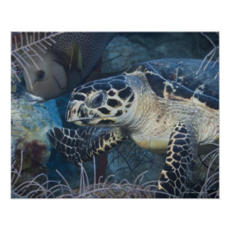 Underwater Life: A Hawksbill Sea Turtle Poster