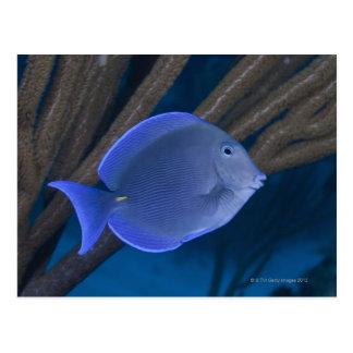 Underwater life: Acanthurus coeruleus with sea Postcard