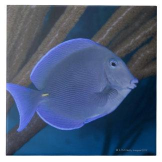 Underwater life: Acanthurus coeruleus with sea Tile