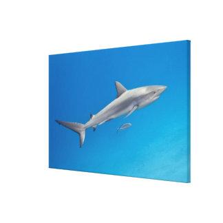 Underwater life: Carcharhinus perezi swimming in Canvas Print
