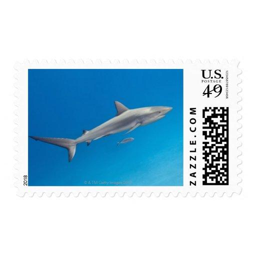 Underwater life: Carcharhinus perezi swimming in Postage