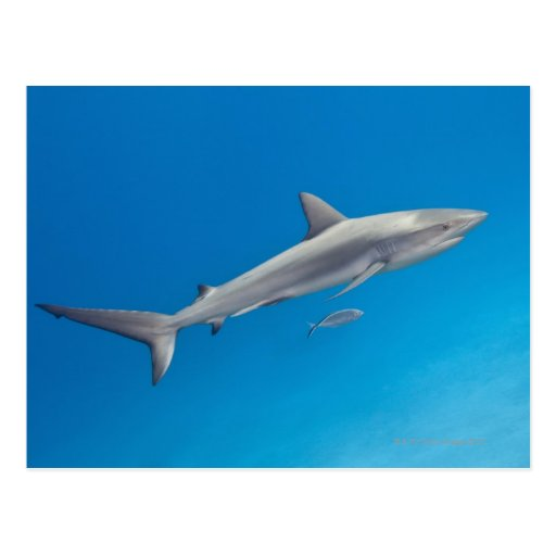 Underwater life: Carcharhinus perezi swimming in Postcard