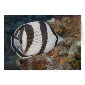 Underwater Life; FISH:  A Banded Butterflyfish Card