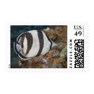 Underwater Life; FISH:  A Banded Butterflyfish Postage Stamp