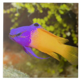 Underwater Life, FISH:  a colorful Fairy Basslet Ceramic Tile