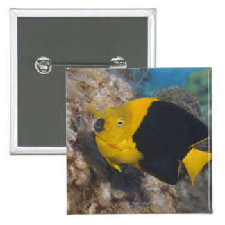 Underwater Life, FISH:  A colorful Rock Beauty Pinback Button