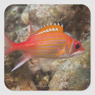 Underwater Life, FISH:  a Longjaw Squirrelfish Square Sticker