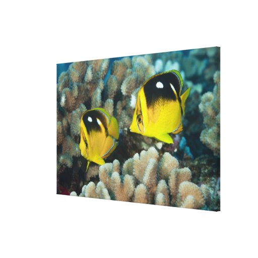 Underwater Life; FISH:  A pair of Fourspot Stretched Canvas Print