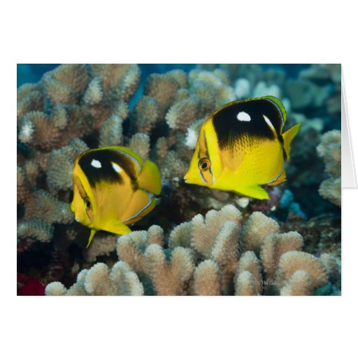 Underwater Life; FISH:  A pair of Fourspot Greeting Card