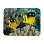 Underwater Life; FISH:  A pair of Fourspot Magnets