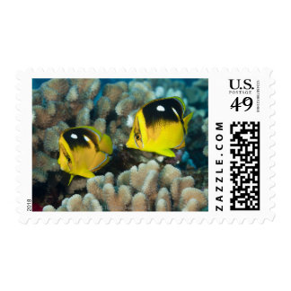 Underwater Life; FISH:  A pair of Fourspot Postage