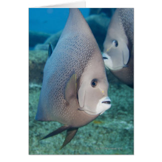 Underwater Life, FISH:  a pair of Gray Angelfish Card