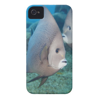Underwater Life, FISH:  a pair of Gray Angelfish iPhone 4 Cover