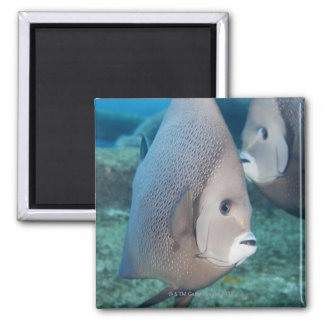 Underwater Life, FISH:  a pair of Gray Angelfish 2 Inch Square Magnet