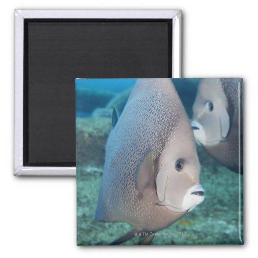 Underwater Life, FISH:  a pair of Gray Angelfish Refrigerator Magnets