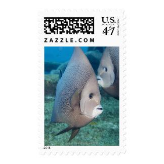 Underwater Life, FISH:  a pair of Gray Angelfish Postage