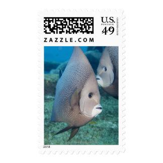 Underwater Life, FISH:  a pair of Gray Angelfish Postage Stamp