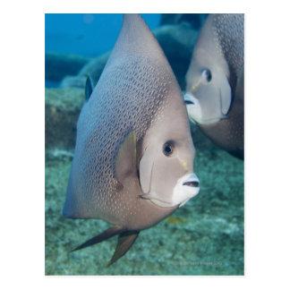 Underwater Life, FISH:  a pair of Gray Angelfish Postcard