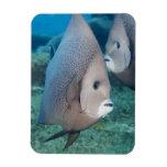 Underwater Life, FISH:  a pair of Gray Angelfish Rectangular Magnet