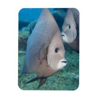 Underwater Life, FISH:  a pair of Gray Angelfish Rectangular Photo Magnet