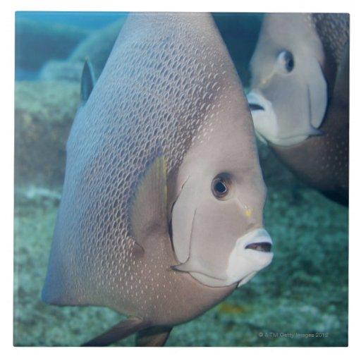 Underwater Life, FISH:  a pair of Gray Angelfish Tiles