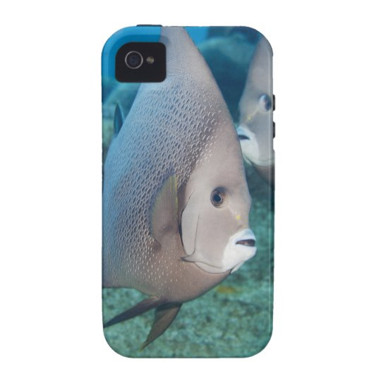 Underwater Life, FISH:  a pair of Gray Angelfish Vibe iPhone 4 Cover