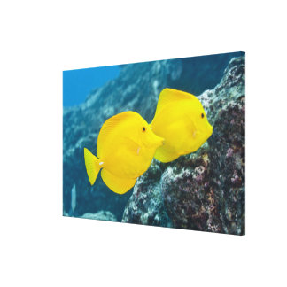 Underwater life; FISH: A Pair of Yellow Tangs Canvas Print