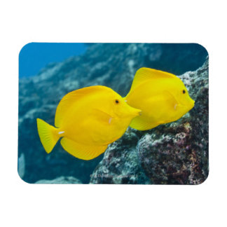 Underwater life; FISH: A Pair of Yellow Tangs Magnet