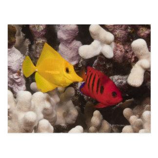 Underwater life; FISH: A Yellow Tang (Zebrasoma Postcard