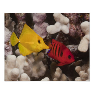Underwater life; FISH: A Yellow Tang (Zebrasoma Posters