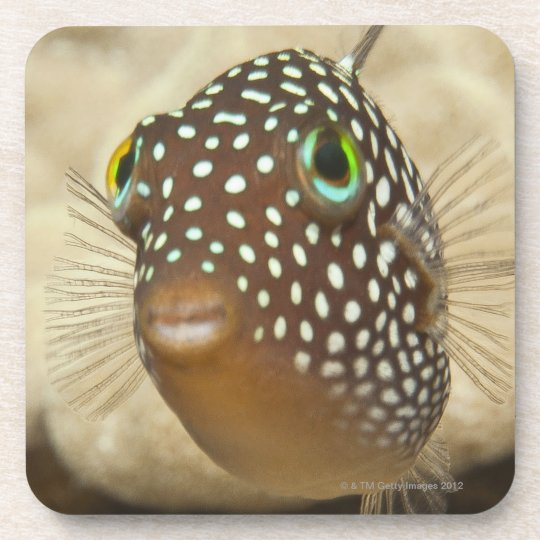 Underwater life; FISH:  Close-up portrait of a Beverage Coaster