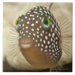 Underwater life; FISH:  Close-up portrait of a Large Square Tile