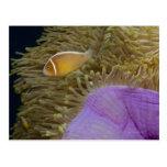 Underwater LIfe; FISH: Clownfish (Pink Postcard