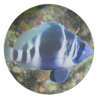 Underwater Life, FISH:  Indigo Hamlet Plate