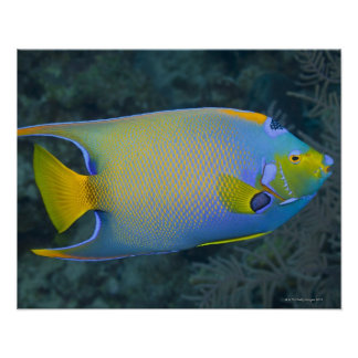 Underwater Life; FISH:  Queen Angelfish Poster