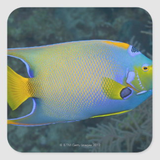 Underwater Life; FISH:  Queen Angelfish Square Sticker