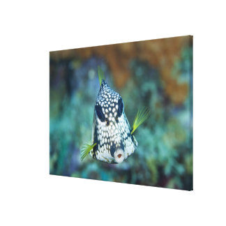 Underwater view of Smooth Trunkfish (Lactophrys Canvas Print