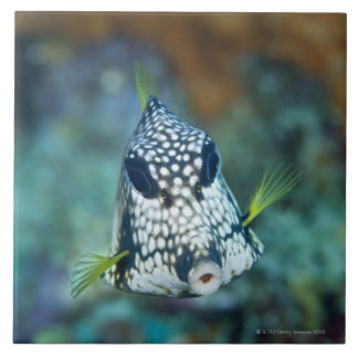 Underwater view of Smooth Trunkfish (Lactophrys Large Square Tile