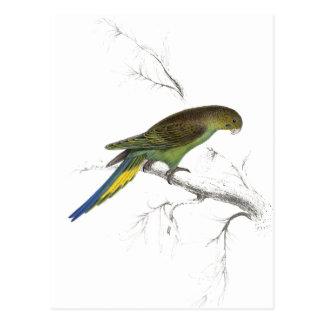 Undulated Parrakeet by Edward Lear) Postcard