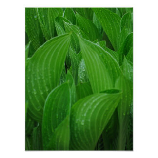 Unfurling Hosta Leaves with Raindrops Poster