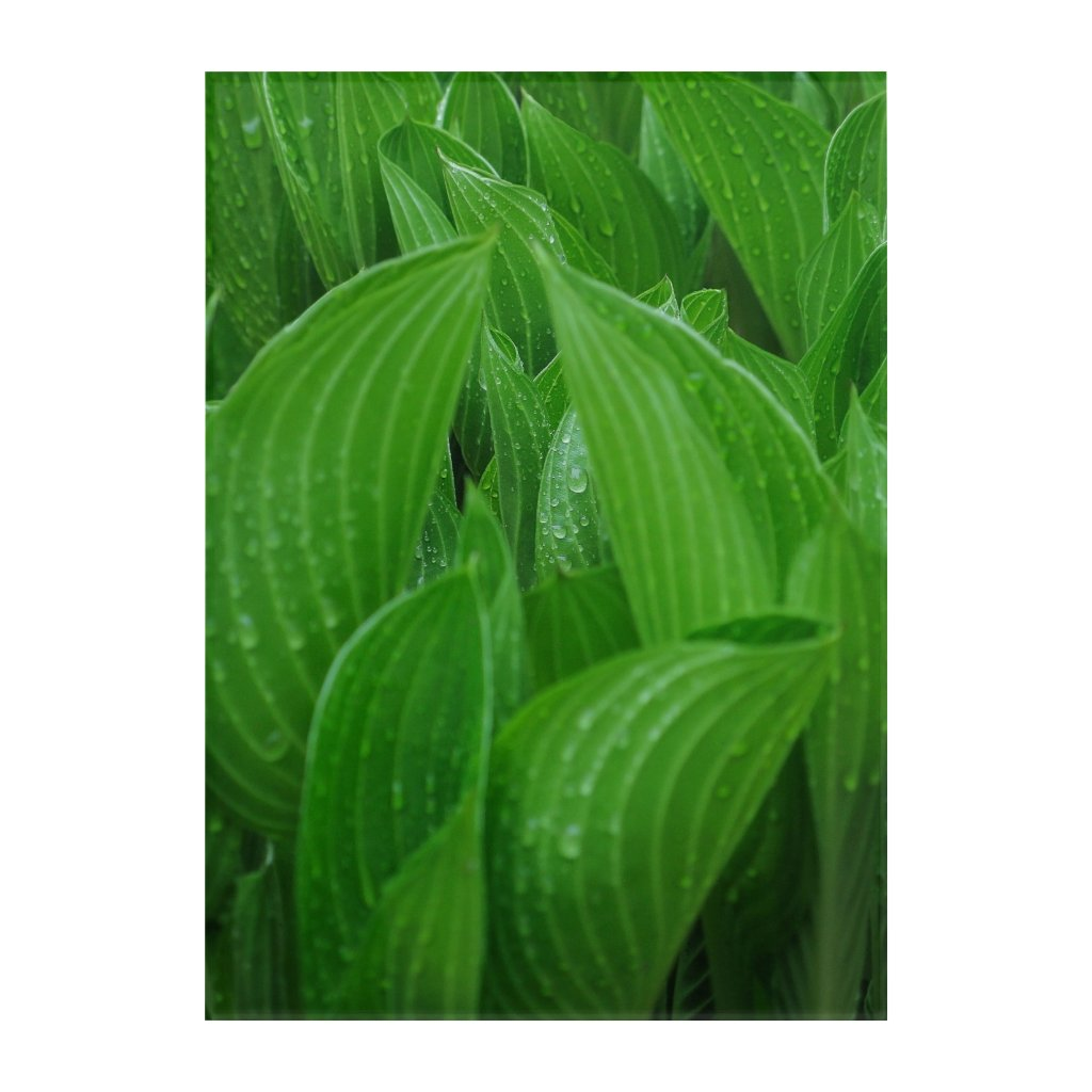 Unfurling Hosta Leaves with Raindrops Wall Art