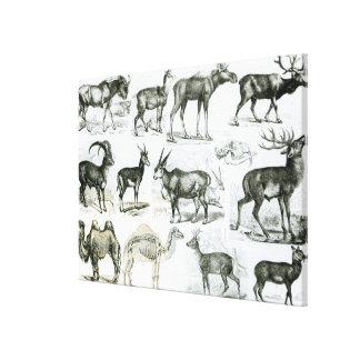 Ungalata or Hoofed Animals Canvas Print