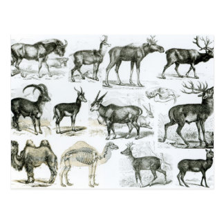 Ungalata or Hoofed Animals Postcard