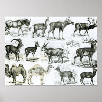 Ungalata or Hoofed Animals Poster