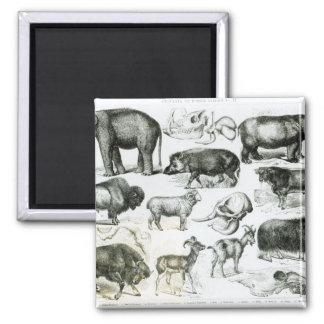 Ungulata or Hoofed Animals 2 Inch Square Magnet