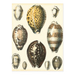 Uniquely Shaped Seashells Postcard